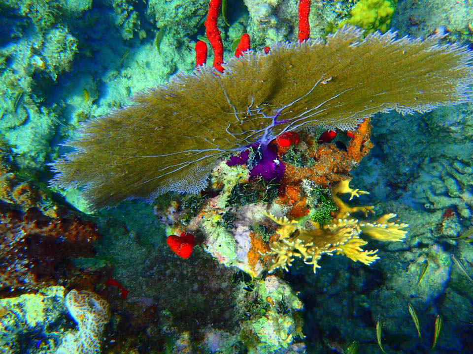 Fan Coral Culebra by Casita Tropical