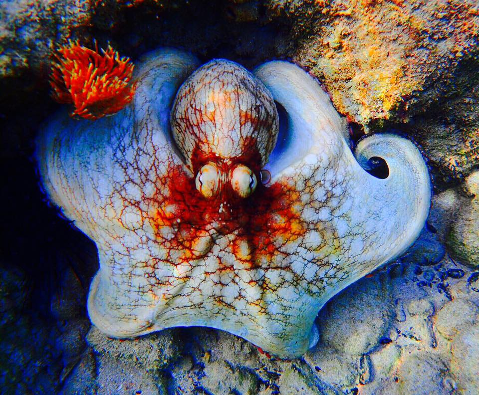 Culebra Octopus by Casita Tropical